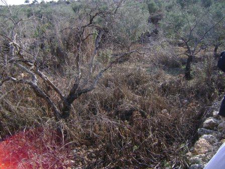 עצים שהביוב הרג. עשרות עצי זית ממשיכים לשתות את הביוב.
