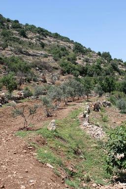 עצי הזית - יעקרו או לא? צילום, מ. קיים