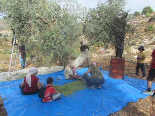 מסיק באל-ולאג'ה באדמות שעליהן הכריזה המדינה גן לאומי ושגישת החקלאים אליהן תיחסם כשתושלם גדר ההפרדה באזור (צילם אילן)